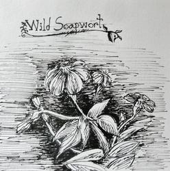 Ink Sketches--Wild Soapwort