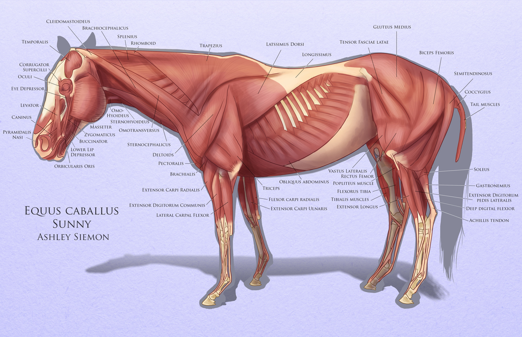 Most recent image: Horse Muscles