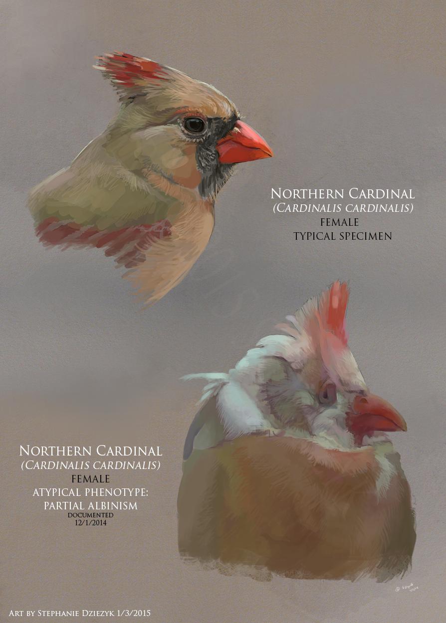 Atypical Phenotype in Cardinalis cardinalis