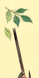 Tiny Wagtail Gryffon