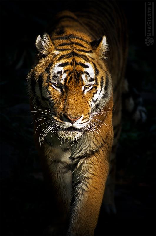 Caution!! Tiger ahead!!