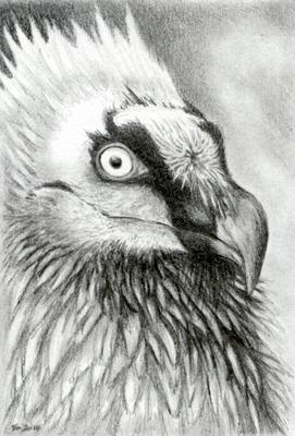 Lammergeier Sketch