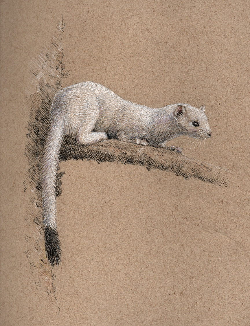Most recent image: weasel
