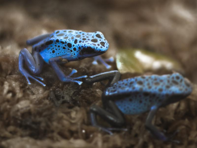 Blue Dart Frogs