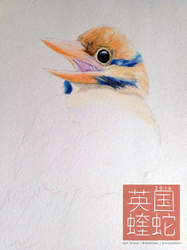 Moustached Kingfisher WIP