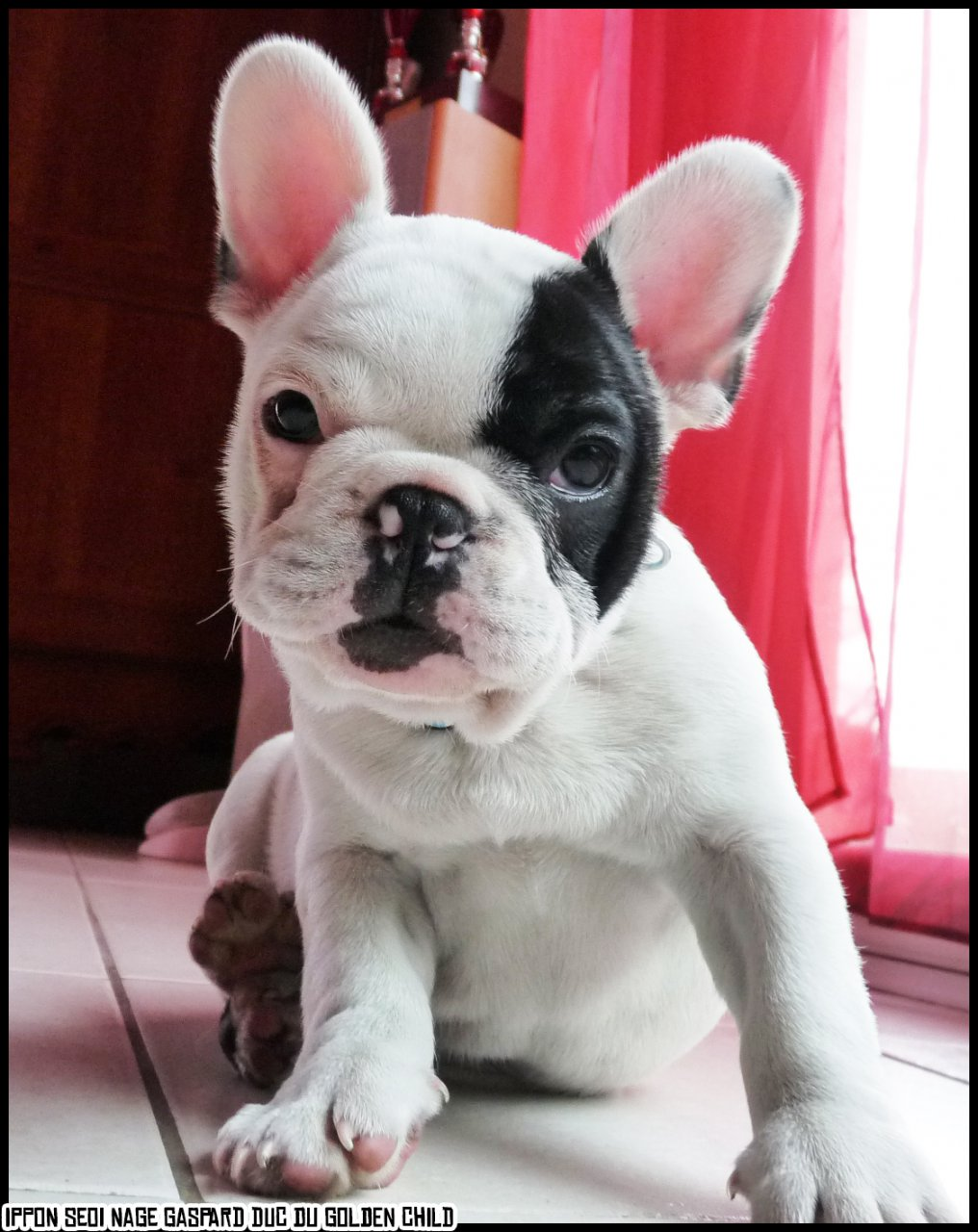 .: French bulldog puppy [MINE ♥]
