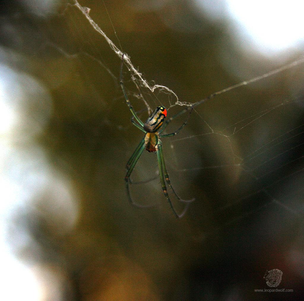 Venusta Orchard Spider 1