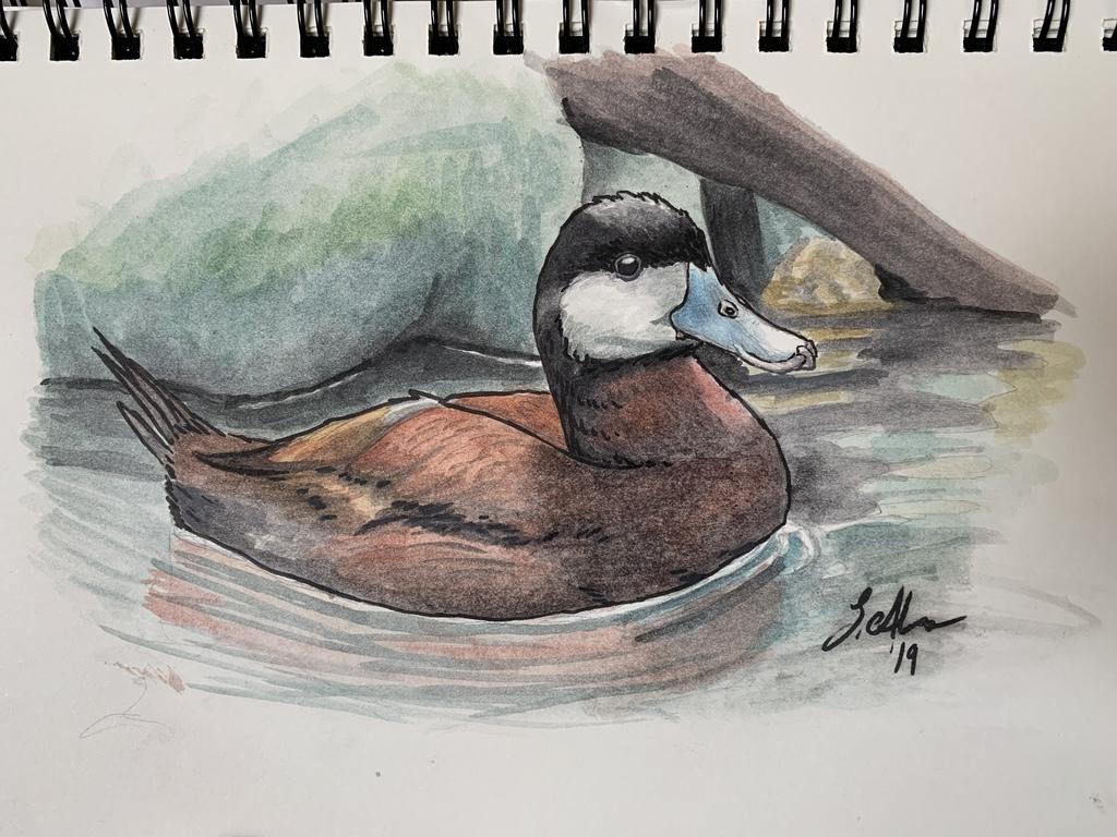 Ruddy Duck Sketch