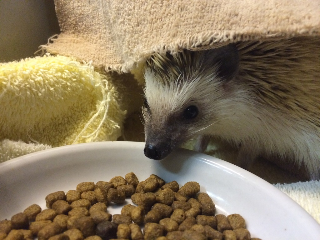 Grizzly the hedgehog