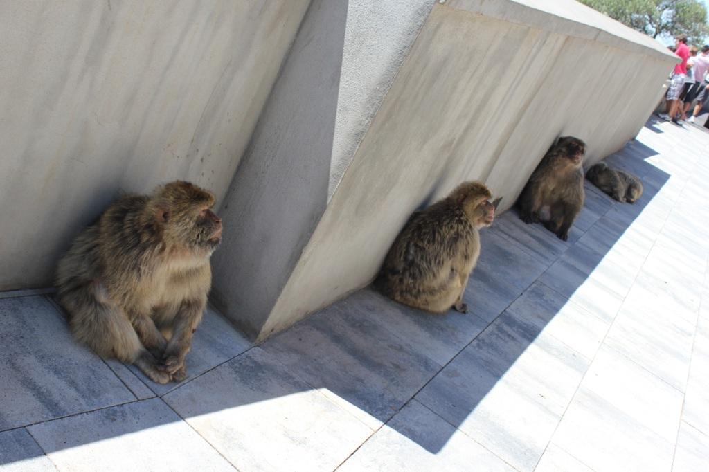 Monkeys in Gibraltar