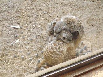 Meerkat Furpile!
