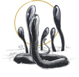 Mayshroom Black Earth Tongues