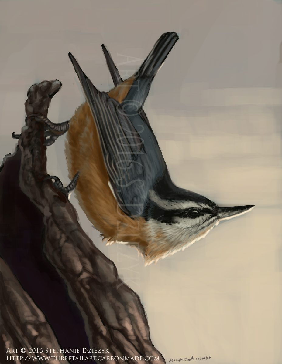 Most recent image: Evening Nuthatch