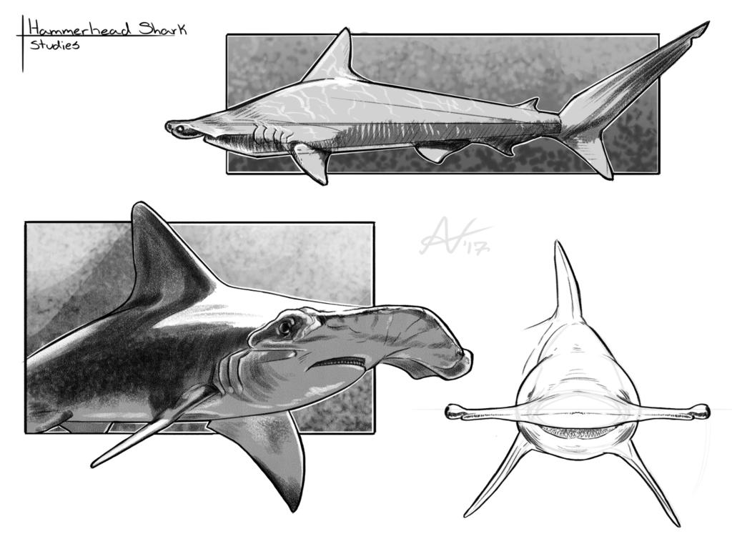Warm up Sketches- Hammerhead Shark