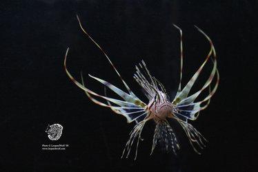 Volitans Lionfish