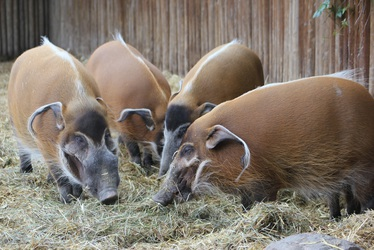 A drift or parce of Red River Hogs