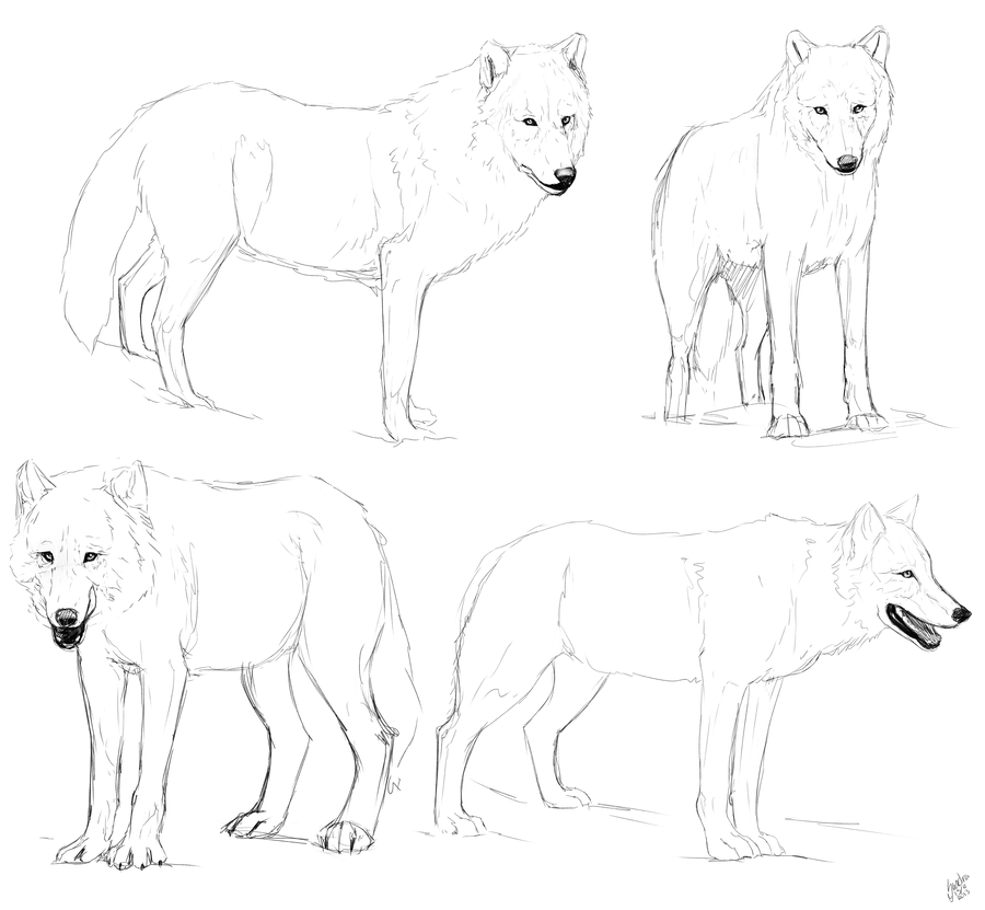 Wolf study sketches
