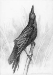 Grackle Drawing