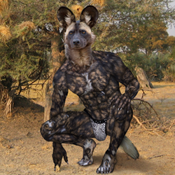 African Wild dog (Lycaon) or Painted wolf
