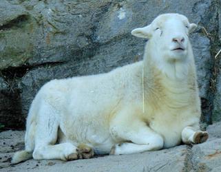 Oakland Zoo sheep