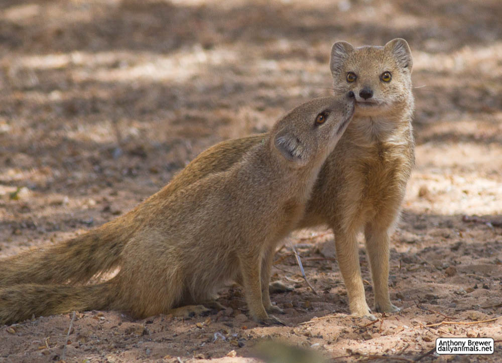 Mongoose nuzzles