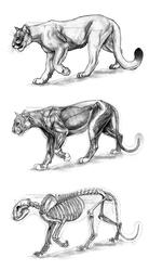 Big Cat Anatomical Study: Cougar