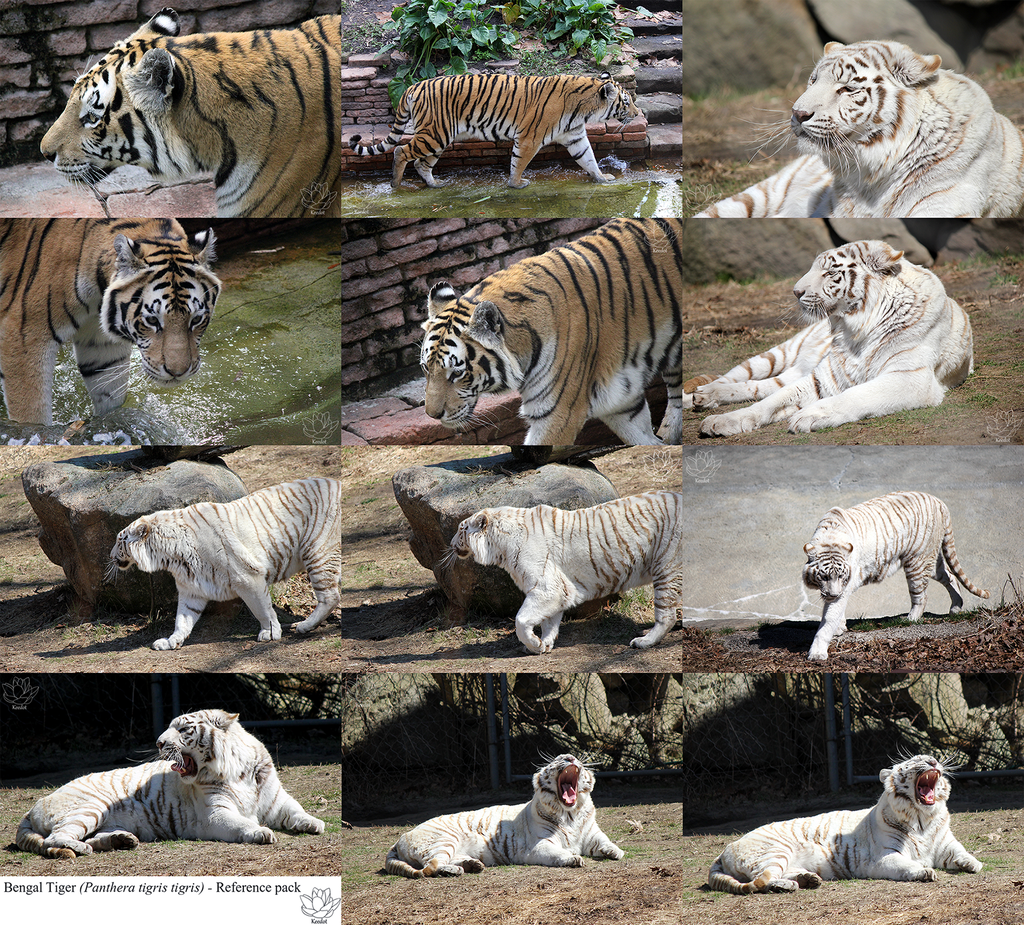 Bengal Tiger reference pack (w/ maw)