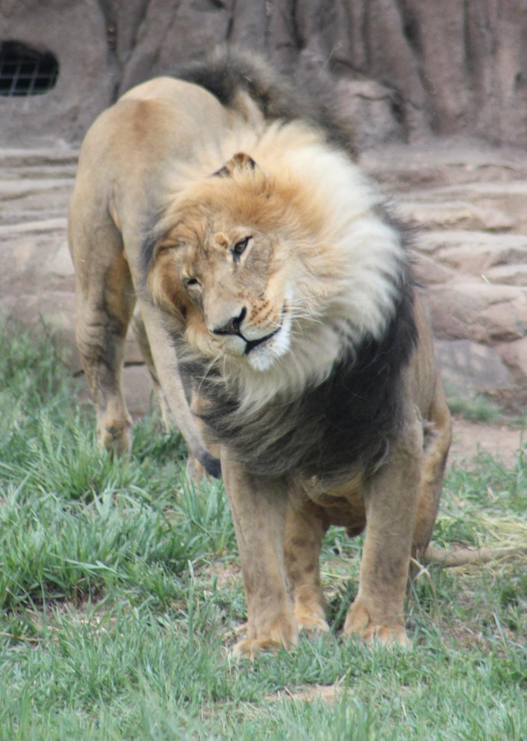 Fluffing Lion