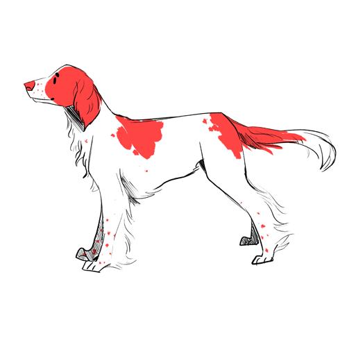 extra / irish red and white setter