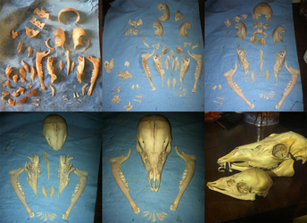 Whitetail Fawn Skull Assembly