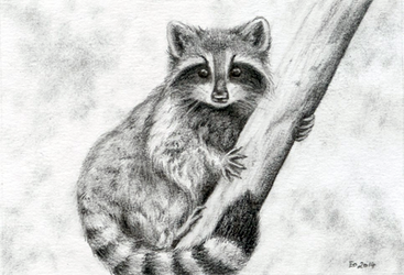 Raccoon Sketch