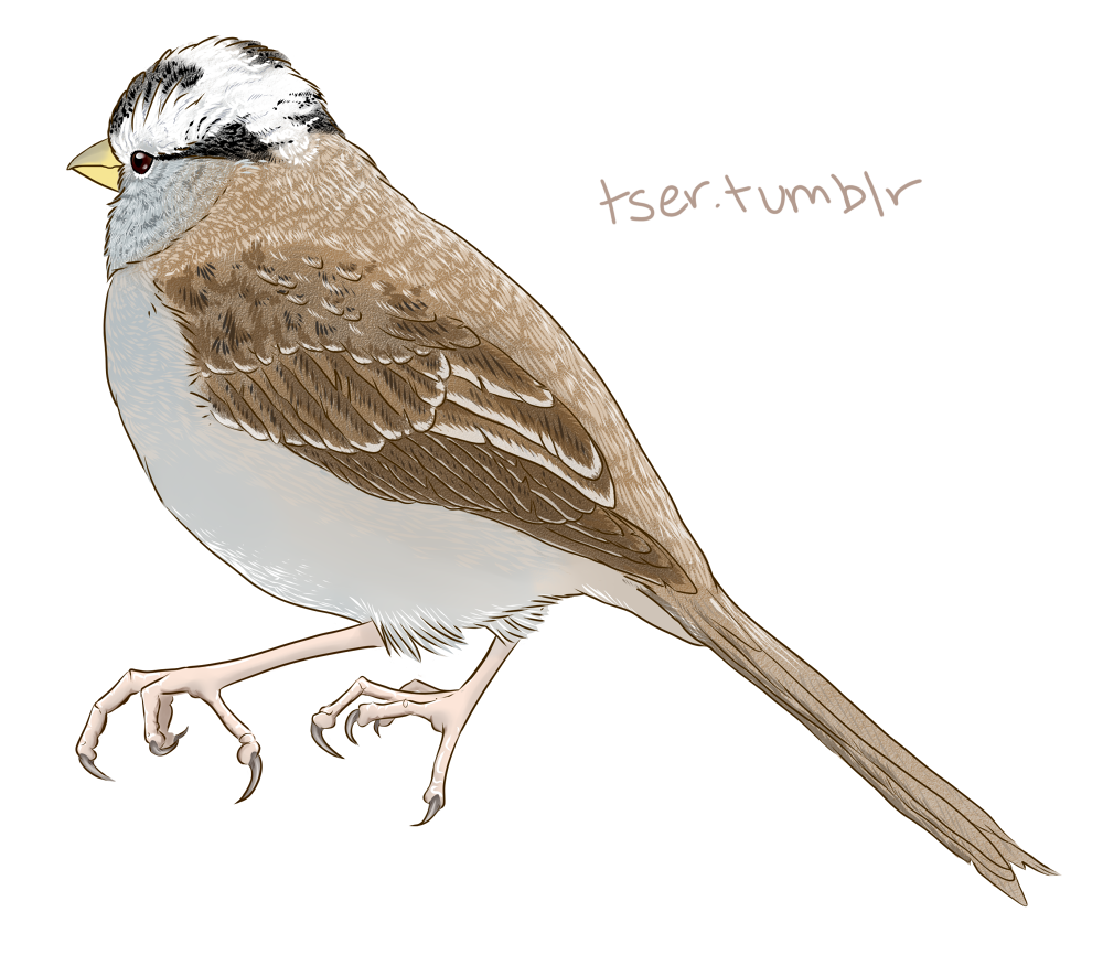 Most recent image: White Crowned Sparrow