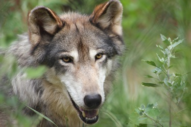 Mocha the Wolf