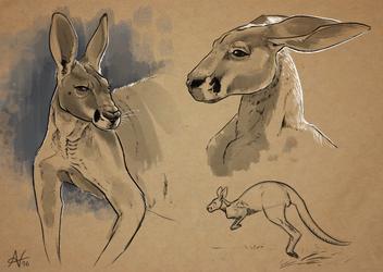 Sketches-Kangaroo