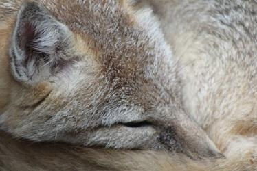 Swift Fox Face