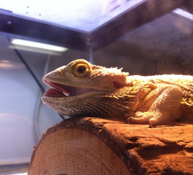 Vega the bearded dragon