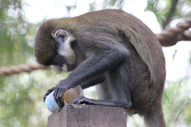 Monkey Popsicle