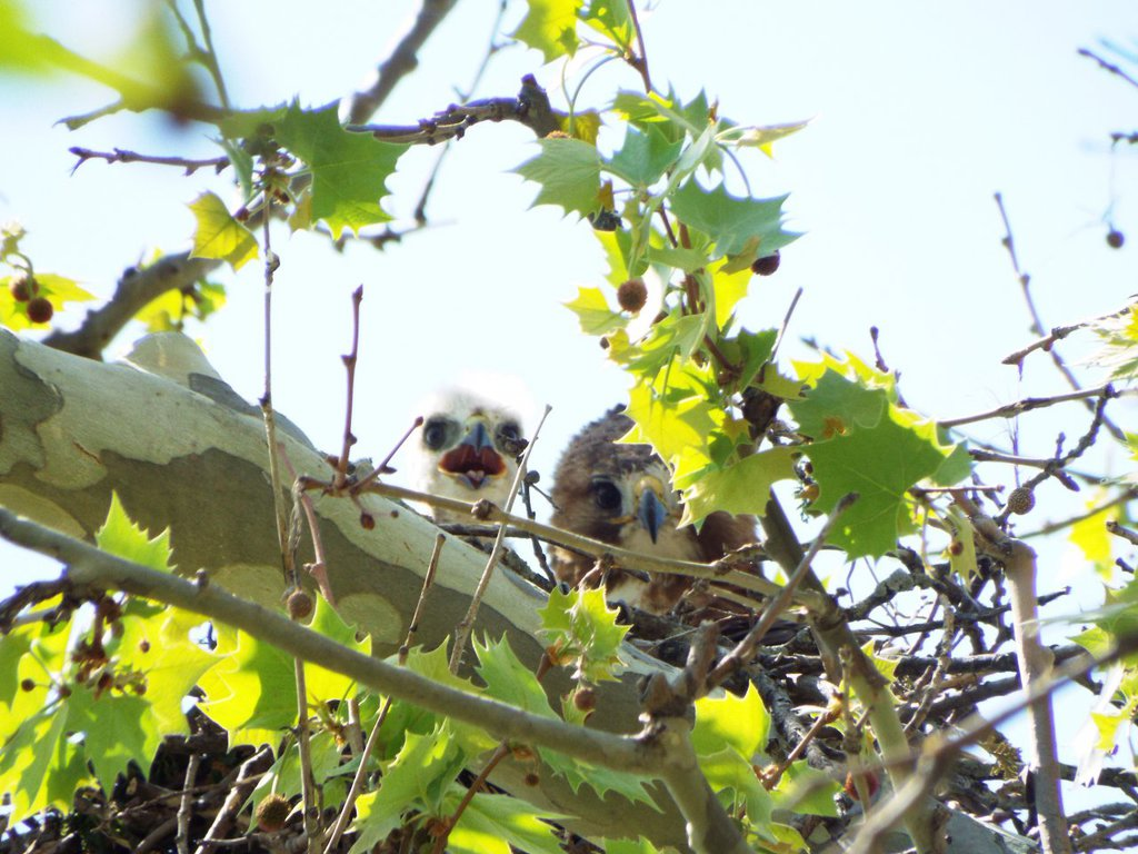 Peek-a-Boo from Some Redtails! :>
