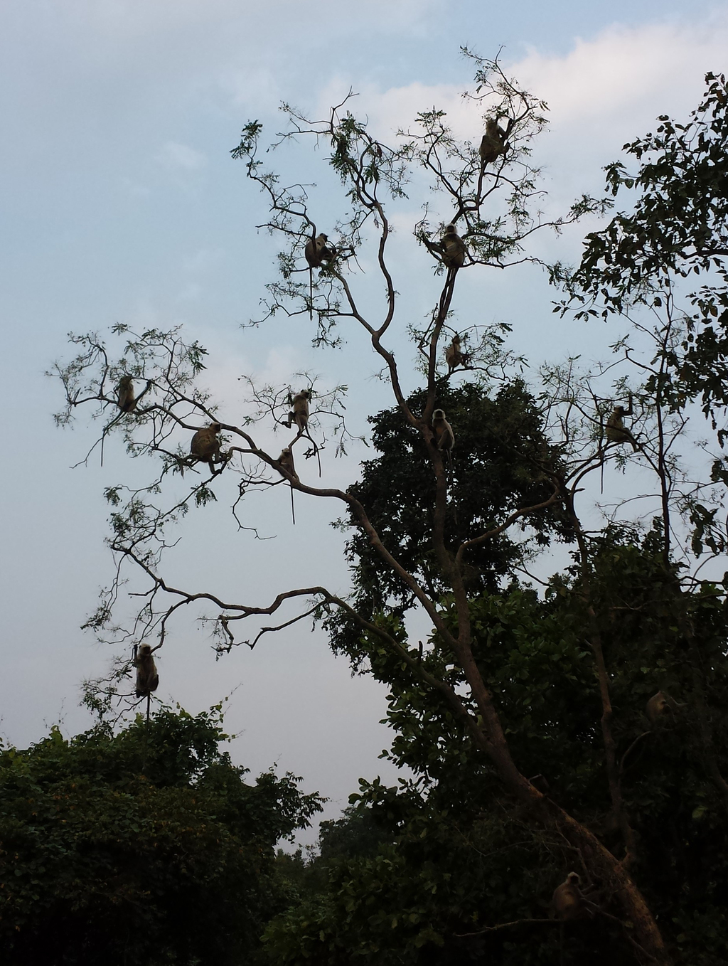 Monkey tree in Pench Tiger Reserve