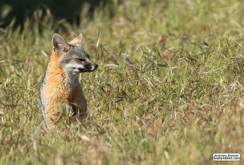 Sitting fox in a field of grass