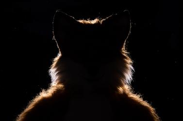 Where is the fox?