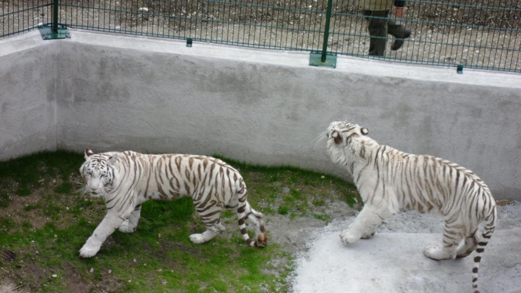 The White Tigers of Kernhof  ~ 4