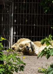 Asiatic Lion 09