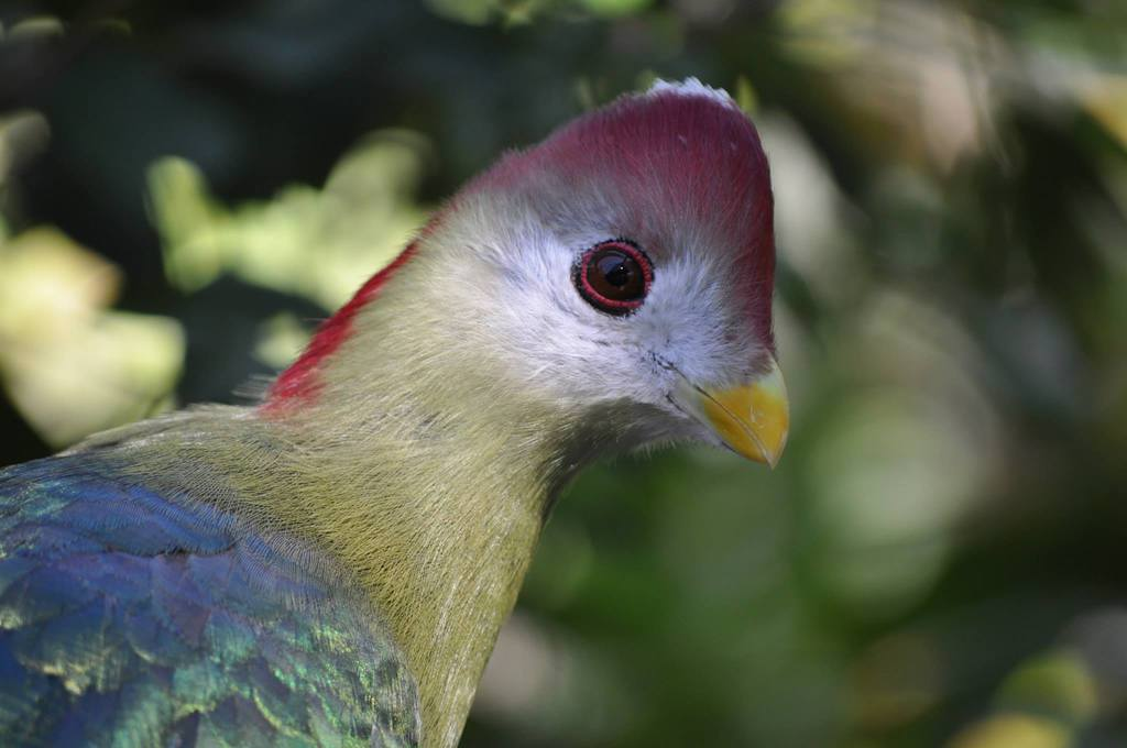 Featured image: Red-crested Turaco 1