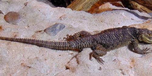 Oakland Zoo plated lizard