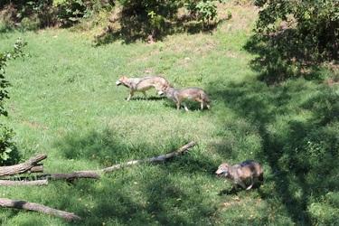 Running wolf pack
