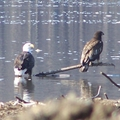 A Couple of Bald Eagles on the Mississippi River
