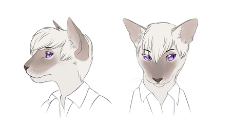 A Lilac Point Siamese