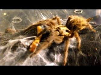 Tarantula feeding video - 2
