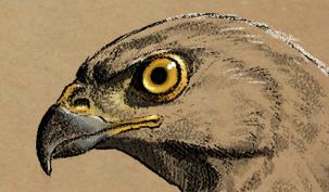 Sketches-Birds